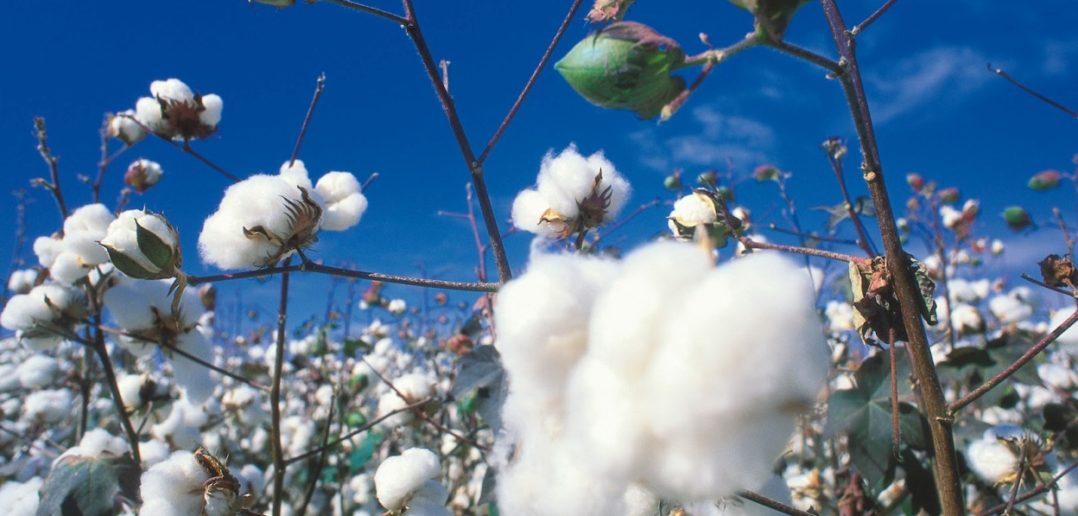 Μπόνους ποιότητας στην τιμή βάμβακος από τη νέα καλλιεργητική περίοδο